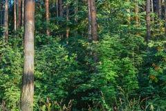 Lasowi gąszcze Turystyczna marszruta dla doświadczonych podróżników Rosja obrazy royalty free
