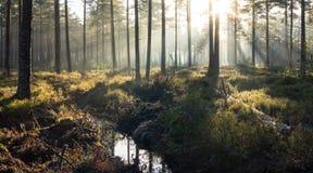 Lasowi mgła promienie Obraz Stock