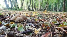 Lasowi podłogowi muchomory obraz stock