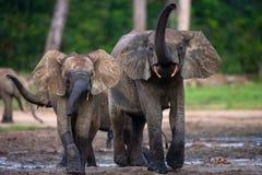 Lasowi słonie bawić się z each inny Fotografia Royalty Free
