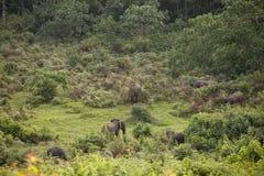 Lasowi słonie w Kenja Zdjęcia Royalty Free