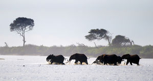 Lasowi słonie Zdjęcia Royalty Free