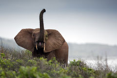 Lasowi słonie Fotografia Royalty Free