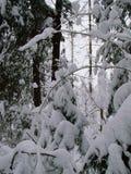 Lasowi sosnowi i jedlinowi drzewa po ciężkiego opadu śniegu zdjęcia stock