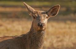 Lasowi ssaki zdjęcie royalty free
