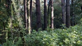 Lasowi threes Fotografia Stock