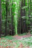 Lasowi wysocy drzewa Zdjęcia Stock