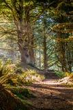 Lasowy ślad z słońca jaśnieniem przez ulistnienia w Heceta głowy latarni morskiej stanu parku Florencja, Oregon Zdjęcia Royalty Free