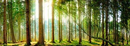 Lasowy światło słoneczne obrazy stock