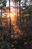 Lasowy światło słoneczne Obraz Stock