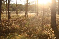 Lasowy światło słoneczne Zdjęcia Royalty Free
