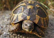 Lasowy żółw Obrazy Royalty Free