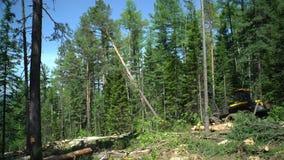 Lasowy żniwiarz w akci - ciąć w dół drzewa zbiory