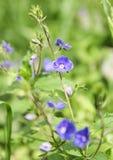 lasowy błękitny kwiat obraz stock