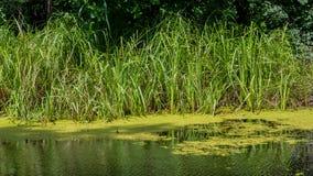 Lasowy bagno i płochy niebieska spowodowana pola pełne się chmura dzień zielonych roślin krajobrazu ruchu pokaz mały nie niebo by Zdjęcie Royalty Free