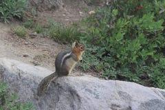 Lasowy chipmunk odpoczywać fotografia royalty free