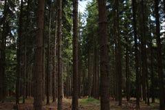 Lasowy dąb zdjęcie royalty free