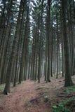Lasowy dąb fotografia royalty free