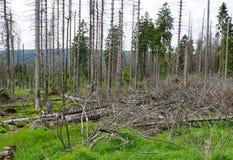 Lasowy Dieback Zdjęcia Stock