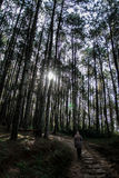 Lasowy drzewo z słońca światłem naprzód Obrazy Stock