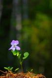 Lasowy fiołek Fotografia Stock