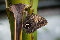 Lasowy Gigantyczny sowa motyl (Caligo Eurilochus) Zdjęcie Stock