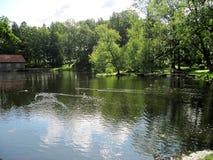 Lasowy jezioro i kaczory Fotografia Royalty Free