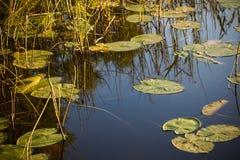 Lasowy jezioro, odbicie w wodzie, liście wodne leluje Obrazy Stock