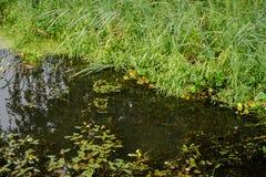 Lasowy jezioro zakrywający z duckweed Obrazy Royalty Free