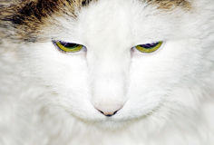 lasowy kota siberian obraz royalty free