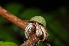Lasowy krab lub lasowego drzewa wspinaczkowy krab Madagascar Obraz Stock