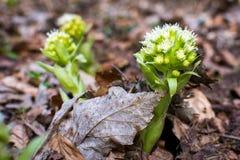 Lasowy kwiat Obrazy Stock