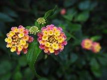 Lasowy kwiat Fotografia Royalty Free