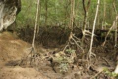 lasowy Langkawi malezyjczyka mangrowe Zdjęcie Royalty Free