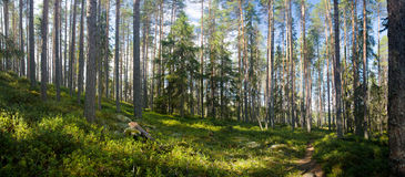 lasowy lato Zdjęcia Royalty Free