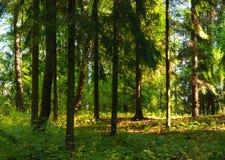Lasowy lato krajobraz, ow sosnowi lasowi drzewa w lato zwartym lesie Obraz Stock