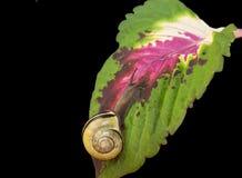Lasowy ślimaczek, Cepaea nemoralis Zdjęcia Royalty Free