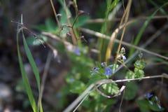 Lasowy mały błękit kwitnie na tle ziele Fotografia Royalty Free