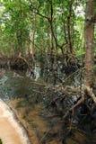 lasowy mangrowe Obraz Royalty Free