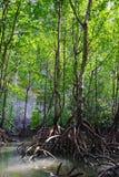 lasowy mangrowe Fotografia Royalty Free