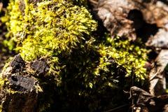 Lasowy mech Obraz Stock