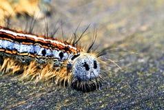Lasowy namiotowej gąsienicy zadek makro- Obraz Stock