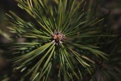 Lasowy natury zieleni spruse sharakhovskaya zdjęcia stock