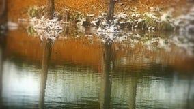 Lasowy odbicie w wodzie, czochra, śnieg zdjęcie wideo