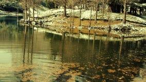 Lasowy odbicie w wodzie, metasequoia urlop unosi się na jeziorze, czochra, śnieg zdjęcie wideo