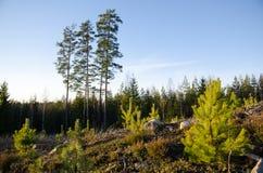 Lasowy odzyskiwanie z sosen roślinami Zdjęcie Stock
