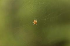 Lasowy pająk fotografia royalty free