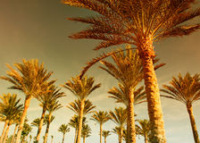 lasowy palmowy zmierzch Obrazy Royalty Free