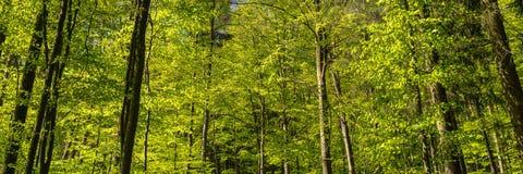 Lasowy panoramy tło, Zielony drzewo krajobraz Obraz Stock