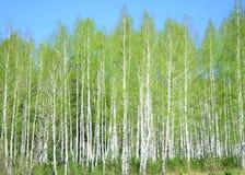 lasowy połysku wiosna słońce Obrazy Stock